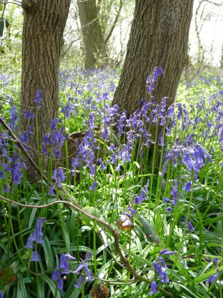 Bluebells on display